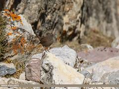 Winter Wren (Troglodytes troglodytes) (gilgit2) Tags: avifauna birds brumther canon canoneos7dmarkii category fauna feathers geotagged gilgitbaltistan gojal imranshah location pakistan species tags tamron tamronsp150600mmf563divcusd wildlife wings winterwrentroglodytestroglodytes gilgit2 troglodytestroglodytes birds11