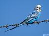 Budgie (Drinu C) Tags: adrianciliaphotography sony dsc rx10iii rx10 mk3 nature bird blue budgie
