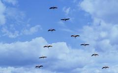 Grues en formation... (Crilion43) Tags: région centre véreaux paysages ciel animaux grues nuages villes