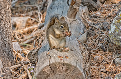 A squirrel on a log in the woods (Pejasar) Tags: animal mammal rodent squirrel eating lunchtime log forest woods vacation yellowstone nationalpark wyoming nearoldfaithful