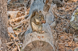 A squirrel on a log in the woods