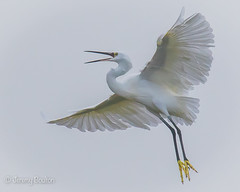 Angry Egret (JKmedia) Tags: egrets sparring fighting birds egret boultonphotography canoneos7dmarkii ef100400mmf4556lisusm 14xextender wales anglesey cemlyn 2017 wildife inflight pair wings feathers nature inair midair egrettagarzetta littleegret 15challengeswinner
