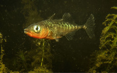 """Male threespine stickleback • <a style=""""font-size:0.8em;"""" href=""""http://www.flickr.com/photos/142691167@N05/24273924198/"""" target=""""_blank"""">View on Flickr</a>"""