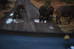 DSC_0030 (graceesimp) Tags: olpejeta capebuffalo buffalo