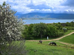 On the little island in the middle of the lake_IMG_0409n (AchillWandering) Tags: lake mountain animals nature island greece florina tree littleprespa clouds ciel blue village naturephotography water sky