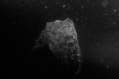 Cuttlefish (Gomen S) Tags: animal wildlife nature underwater ocean diving hongkong hk china asia tropical 2017 night autumn sony sonyflickraward rx100v cuttlefish
