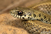 Psammophylax rhombeatus rhombeatus- Spotted/Rhombic Skaapsteker. (Tyrone Ping) Tags: psammophylax rhombeatus spotted rhombic skaapsteker snake snakes reptile reptiles southafrica southafricanreptiles southern snakesofsouthafrica south wwwtyronepingcoza wild wildlife wildherps wildanimals mooiriver kwazulunatal nature natural canon closeup cape 100mmmacrof28 f28 lseries africa african wilderness creature venomouus venom rear fang fanged natal ngc herps herpetology herping herpings herptology photography photo rock