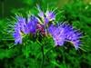 Electric Blue (JulieK (thanks for 6 million views)) Tags: 100flowers2017 phaceliatanacetifoia flower bloom polytunnel greenmanure bright topazglow canonixus170 sliderssunday hss postprocessed