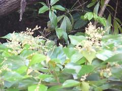 mallotus.mollissimus.flowering.2 (dave.kimble) Tags: mallotus mallotusmollissimus euphorbiaceae greenkamala woollymallotus softkamala arfp qrfp cyrfp tropicalarf lowlandarf uplandarf marginalarfp arfflowers creamarfflowers whitearfflowers