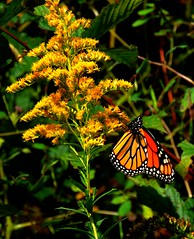 Monarch (Version 2) (Trains & Trails) Tags: monarch insect butterfly flower wildflower goldenrod plant fall autumn september yellow colorful pennsylvania fayettecounty nature outdoors