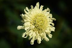 June in the Garden (Mark Wordy) Tags: mygarden flowers eveninglight cephalariagigantea giantscabious