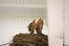 double effort. (NickPensaPhotography) Tags: bird birds nature nest babybirds birdsnest frontporch frontporchbirds wildlife instagramapp squareformat art nikon travel square photography