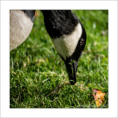 Canada Goose Lunch (prendergasttony) Tags: elements outdoors nature goose geese canada wild water bird avain nikon d7200 branta canadensis lancashire rspb feeding