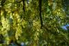 Zweige (Elsbeth7) Tags: baum blätter mehrfachbelichtung grün gelb