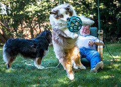 40-52 Della - A Day In The Life (janecumming33) Tags: 52weeksfordogs australianshepherds aussies dogs pets balls jump