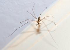 Googly eyes (Wanderin' Weeta) Tags: cellarspider spider aractober