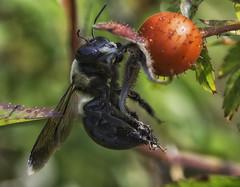 Bee_SAF2094 (sara97) Tags: bee copyright©2017saraannefinke endangered insect missouri nature outdoors photobysaraannefinke pollinator saintlouis towergrovepark