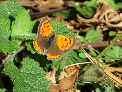 Lycaena phlaeas Small Copper (cawthraw) Tags: rspb labradorbay devon lycaenaphlaeas smallcopper
