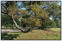 Long Branch (4 Pete Seek) Tags: cemetery westviewcemetery atlantacemetery atlanta atlantageorgia atl westside southeasternphotographicsociety sps tree oldtree bigtree batis225 mirrorless