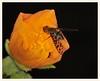 Fly in Indian Mallow (gauchocat) Tags: pimacountyarizona tucsonmountains