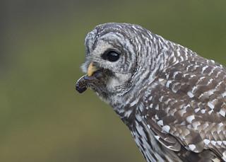 Barred Owls - w/ Crayfish (Explored 9-25-17)