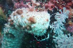 Sea cucumber feeding (sarah.handebeaux) Tags: sea cucumber raja ampat indonesia diving mayhem