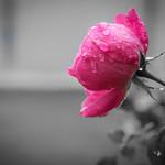 Drops & Rose thumbnail