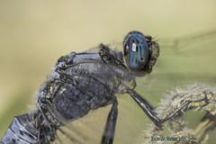 Detalle de Orthetrum trinacria. (Selys 1841), macho (Ricardo Menor) Tags: campodecartagena odonatos anisópteros macho ojos cabezas orthetrumtrinacria 2015 naturalbeauty bellezanatural airelibre iluminaciónnatural naturallighting male primerplano canon60d dragonfly dragonflies libélula