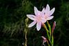 Pink flowers by the pond. (Azariel01) Tags: fleurs flowers rose pink pétales petals eau water droplets drops gouttes gouttelettes étang pond étamines stamens