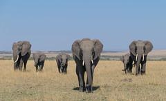 African Safari. The family. (Lena and Igor) Tags: travel safari africa kenya masaimara elephants family dslr contemporary zoom lens nikon grass d5300 nikkor 18300