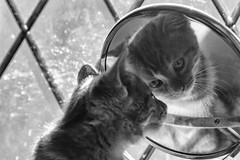 I know you (Evoljo) Tags: reflection dougal mirror pussy cat kitten fur blackwhitephotos nikon d500