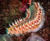 Gusano de fuego (SergioFresnedaBosch) Tags: gusano fuego naturaleza submarinismo