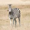 Lone Plains Zebra on the Grasslands of the Okavango Delta (D200-PAUL -- Lowsy F-L-I-C-K'R) Tags: plainszebra zebraplains commonzebra zebracommon burchellszebra zebraburchells quagga zebra equusquagga equusburchellii littlevumburacamp wildernesssafaris okavangodelta botswana paulfernandez