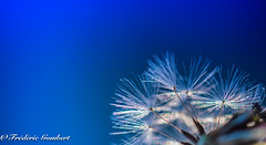 Light is everywhere (frederic.gombert) Tags: flower light sun sunlight color blue summer macro dandelion autumn flowers evening