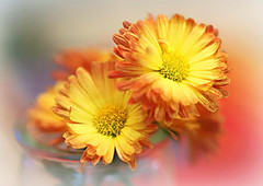 Colorful Mums (Through Serena's Lens) Tags: stilllife mums colorful bokeh dof fall autumn closeup yellow orange flora 7dwf