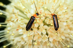 soldier beetles on buttonbush (ophis) Tags: coleoptera polyphaga elateroidea cantharidae cantharinae rhagonycha rhagonychascitula soldierbeetle cephalanthusoccidentalis