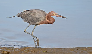 Reddish egret   (The dancer)