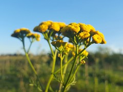 Tanacetum vulgare (Iggy Y) Tags: tanacetumvulgare tanacetum vulgare summer blossom flower yellow color flowers green leaves nature field plant običnivratić vratić tansy sunny day light blue sky goldenbuttons