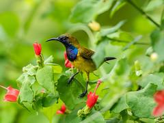 20170923-EM123946 (shutterblades) Tags: birds olivebackedsunbird olympusem1mkii olympusmzuiko300mmf4pro riversafari singaporezoo
