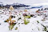 Better late then never (dwolters2) Tags: mountains washington winter mountrainiernp nationalparks anenome flower