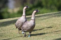 Hawai'i's state bird ( X77_6968-1) (Eric SF) Tags: hawai'i'sstatebird hawaiigoose goose kauai hawaii