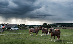 _DSC5000 - Montsarrac - Golfe du Morbihan. (Jack-56) Tags: golfedumorbihan bretagne d700 nikon nikkor2470mmf28 ciel nuages montsarrac chevauxdetrait chevaux traitbreton