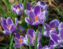 With Winter Fast Approaching, Here is a Little Reminder of Spring! (antonychammond (away4weekend)) Tags: crocus flower spring crocuses garden saariysqualitypictures flowerarebeautiful