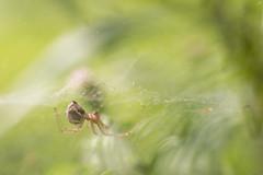 Hanging Hammock (oandrews) Tags: arachnid canon canon70d canonuk commonhammockweaver fauna garden invertebrate invertebrates linyphiatriangularis minibeast minibeasts nature outdoors spider web wildlife