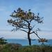 Torrey Pine with Pacific Ocean
