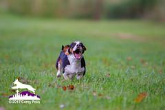 _MG_0780 (Corey Polis) Tags: akc dogsports fastcat gabe lurecourse wvbc williamettevalleybasenjiclub