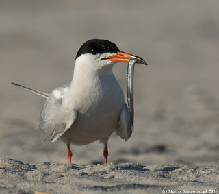 Tern with the fish
