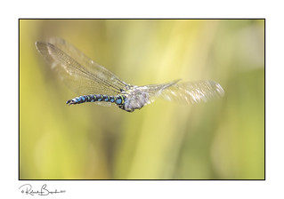 Wings of fancy - Southern Hawker Dragonfly