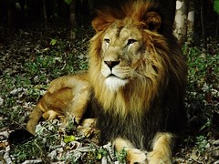 """Simba the Lion • <a style=""""font-size:0.8em;"""" href=""""http://www.flickr.com/photos/152934089@N02/37566244316/"""" target=""""_blank"""">View on Flickr</a>"""