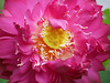 Nelumbo nucifera 'Red Narita' Lotus 010 (Klong15 Waterlily) Tags: rednarita lotus scaredlotus nelumbo nelumbonucifera redlotus lotusthai thailotus